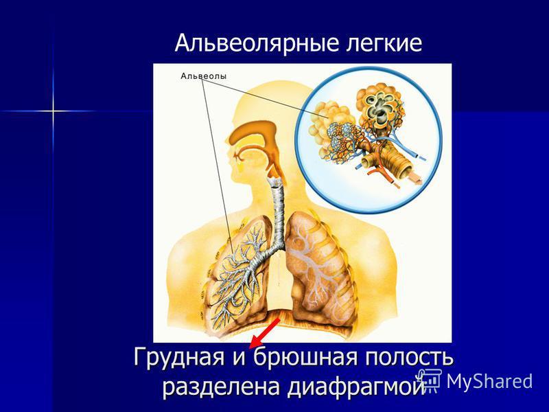 Грудная и брюшная полость разделена диафрагмой Альвеолярные легкие