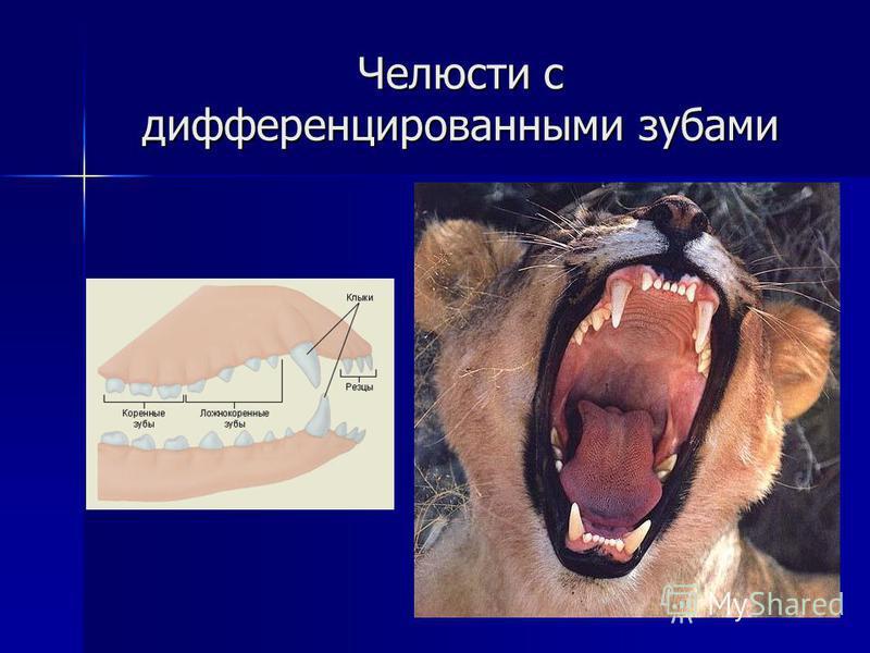 Челюсти с дифференцированными зубами