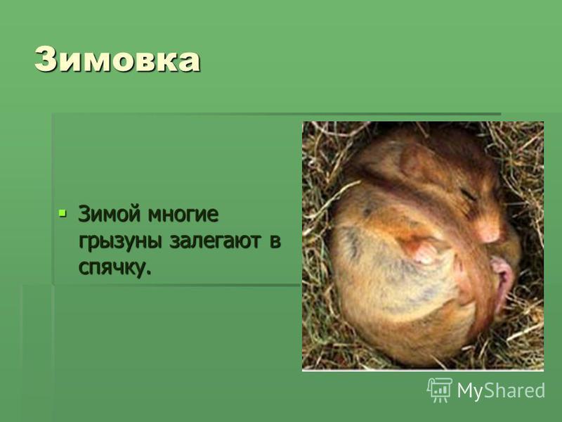 Зимовка Зимой многие грызуны залегают в спячку. Зимой многие грызуны залегают в спячку.