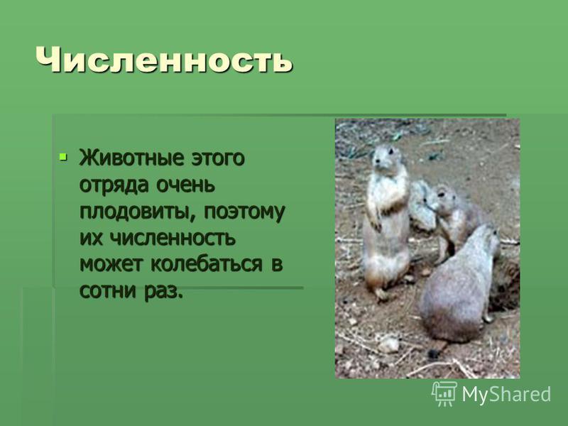 Численность Животные этого отряда очень плодовиты, поэтому их численность может колебаться в сотни раз. Животные этого отряда очень плодовиты, поэтому их численность может колебаться в сотни раз.