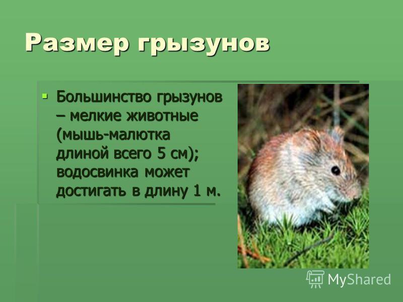 Размер грызунов Большинство грызунов – мелкие животные (мышь-малютка длиной всего 5 см); водосвинка может достигать в длину 1 м. Большинство грызунов – мелкие животные (мышь-малютка длиной всего 5 см); водосвинка может достигать в длину 1 м.