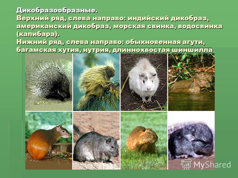 Дикобразообразные. Верхний ряд, слева направо: индийский дикобраз, американский дикобраз, морская свинка, водосвинка (капибара). Нижний ряд, слева направо: обыкновенная агути, багамская хутия, нутрия, длиннохвостая шиншилла
