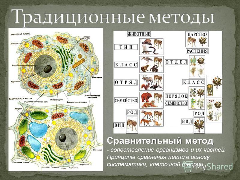 Сравнительный метод - сопоставление организмов и их частей. Принципы сравнения легли в основу систематики, клеточной теории.