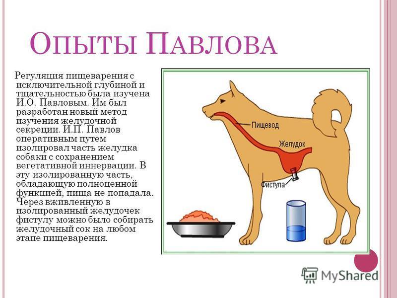О ПЫТЫ П АВЛОВА Регуляция пищеварения с исключительной глубиной и тщательностью была изучена И.О. Павловым. Им был разработан новый метод изучения желудочной секреции. И.П. Павлов оперативным путем изолировал часть желудка собаки с сохранением вегета