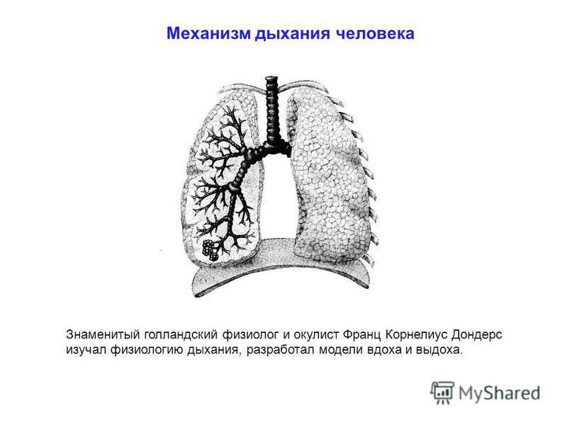 Механизм дыхания человека Знаменитый голландский физиолог и окулист Франц Корнелиус Дондерс изучал физиологию дыхания, разработал модели вдоха и выдоха.