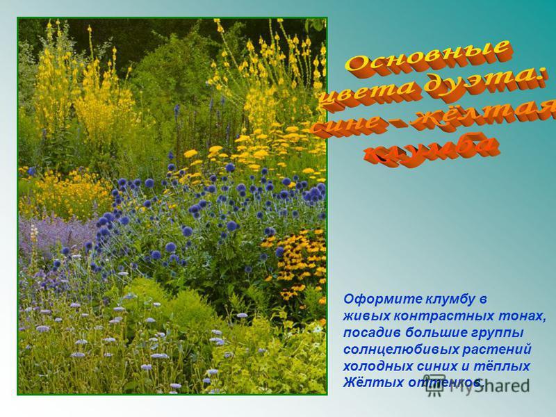 Оформите клумбу в живых контрастных тонах, посадив большие группы солнцелюбивых растений холодных синих и тёплых Жёлтых оттенков.