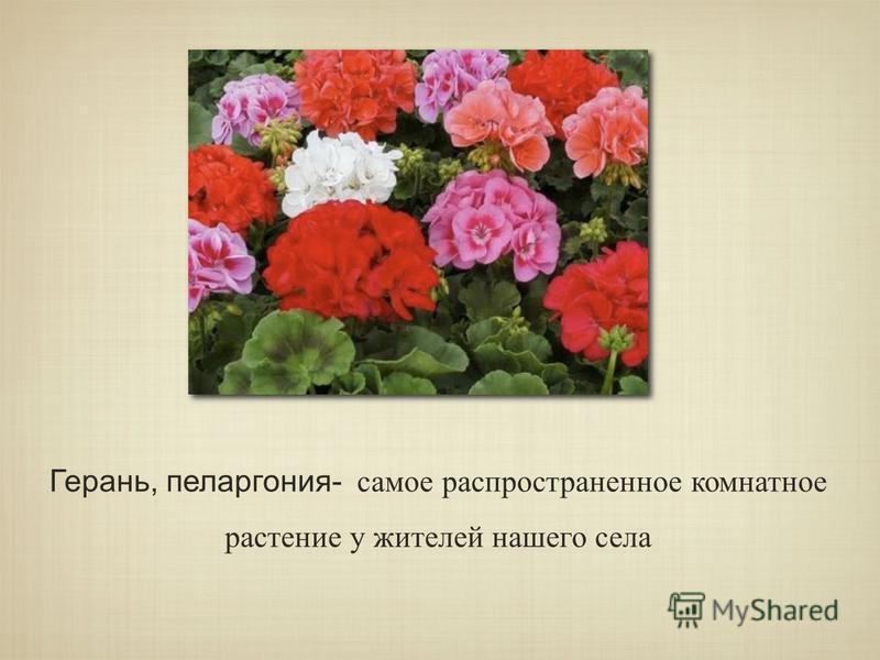 Герань, пеларгония- самое распространенное комнатное растение у жителей нашего села