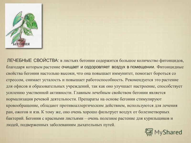 БЕГОНИЯ ЛЕЧЕБНЫЕ СВОЙСТВА: в листьях бегонии содержится большое количество фитонцидов, благодаря которым растение очищает и оздоровляет воздух в помещении. Фитонцидные свойства бегонии настолько высоки, что она повышает иммунитет, помогает бороться с