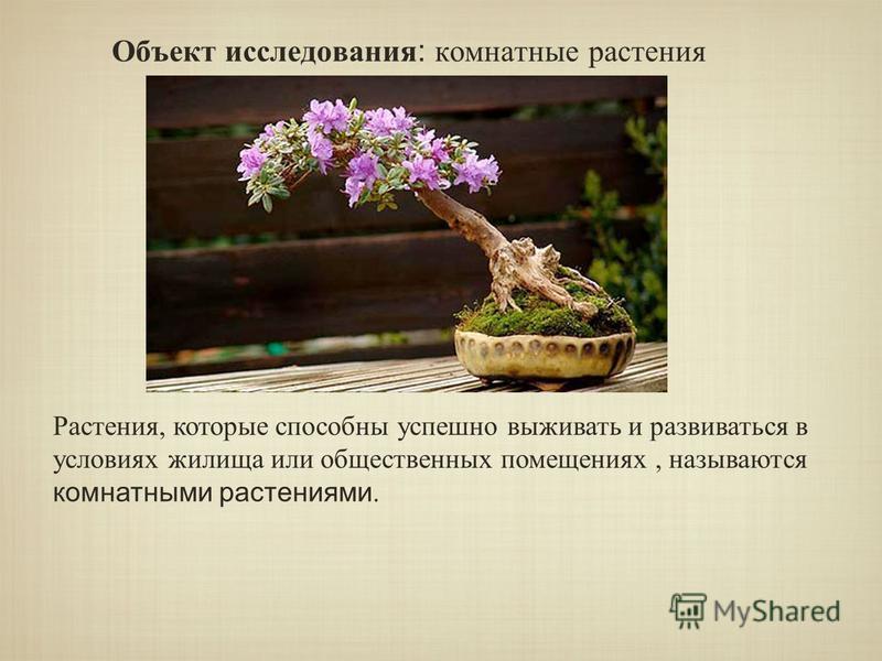 Объект исследования : комнатные растения Растения, которые способны успешно выживать и развиваться в условиях жилища или общественных помещениях, называются комнатными растениями.