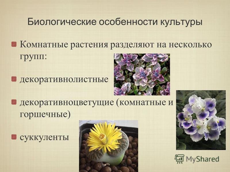 Биологические особенности культуры Комнатные растения разделяют на несколько групп: декоративнолистные декоративно цветущие (комнатные и горшечные) суккуленты