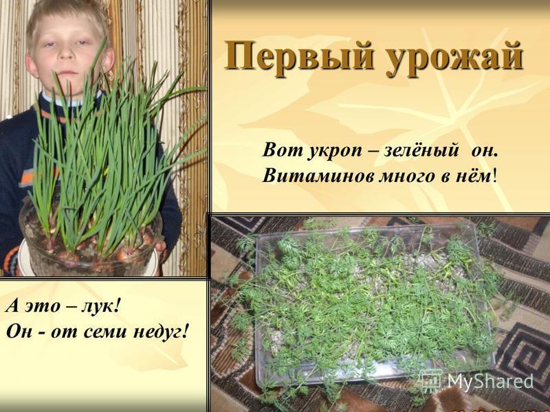 Первый урожай Вот укроп – зелёный он. Витаминов много в нём! А это – лук! Он - от семи недуг!