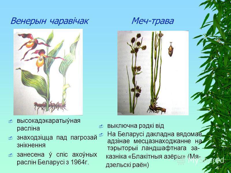 Венерын чаравiчак Меч-трава высокадэкаратыýная раслiна знаходзiцца пад пагрозай знiкнення занесена ý спiс ахоýных раслiн Беларусi з 1964г. выключна рэдкi вiд На Беларусi дакладна вядомае адзiнае месцазнаходжанне на тэрыторыi ландшафтнага за- казнiка