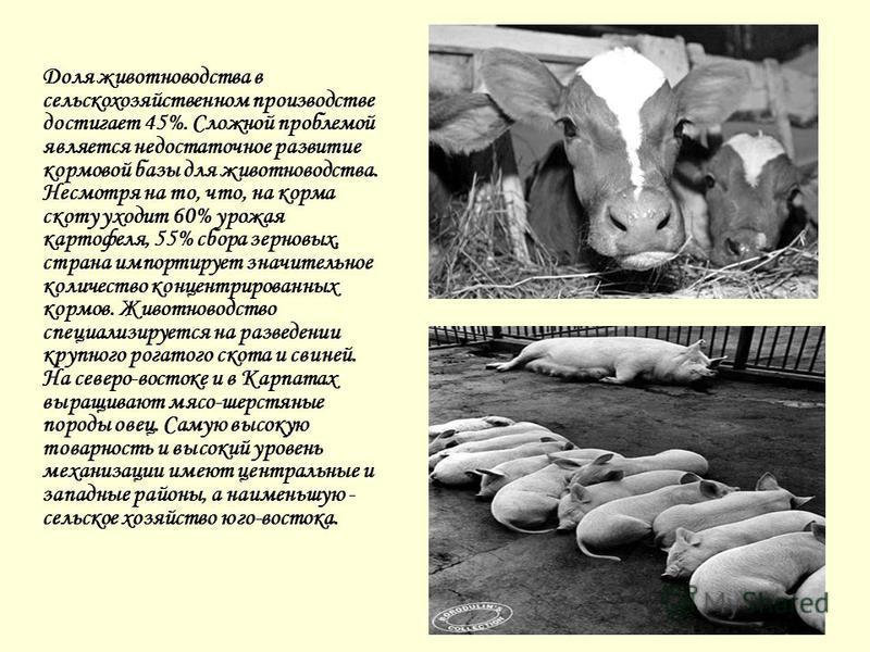 Доля животноводства в сельскохозяйственном производстве достигает 45%. Сложной проблемой является недостаточное развитие кормовой базы для животноводства. Несмотря на то, что, на корма скоту уходит 60% урожая картофеля, 55% сбора зерновых, страна имп
