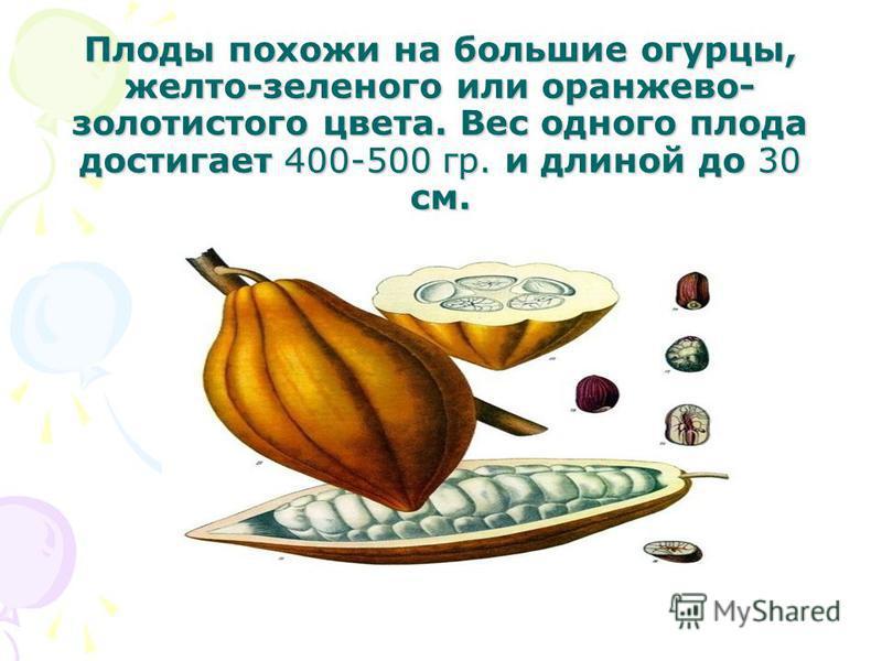 Плоды похожи на большие огурцы, желто-зеленого или оранжево- золотистого цвета. Вес одного плода достигает 400-500 гр. и длиной до 30 см.