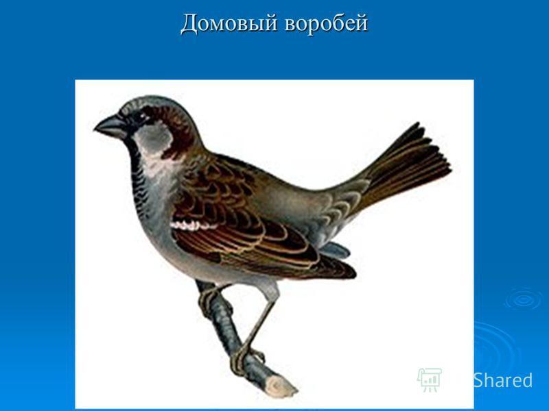 Воробей Голос Голос фото фото