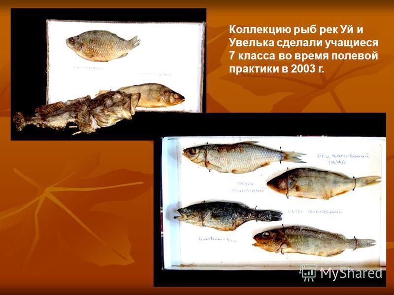Коллекцию рыб рек Уй и Увелька сделали учащиеся 7 класса во время полевой практики в 2003 г.