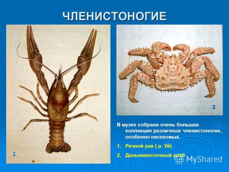 ЧЛЕНИСТОНОГИЕ В музее собрана очень большая коллекция различных членистоногих, особенно насекомых. 1. Речной рак ( р. Уй) 2. Дальневосточный краб 1 2