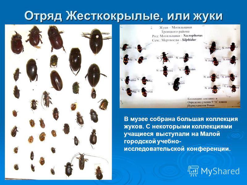 Отряд Жесткокрылые, или жуки В музее собрана большая коллекция жуков. С некоторыми коллекциями учащиеся выступали на Малой городской учебно- исследовательской конференции.