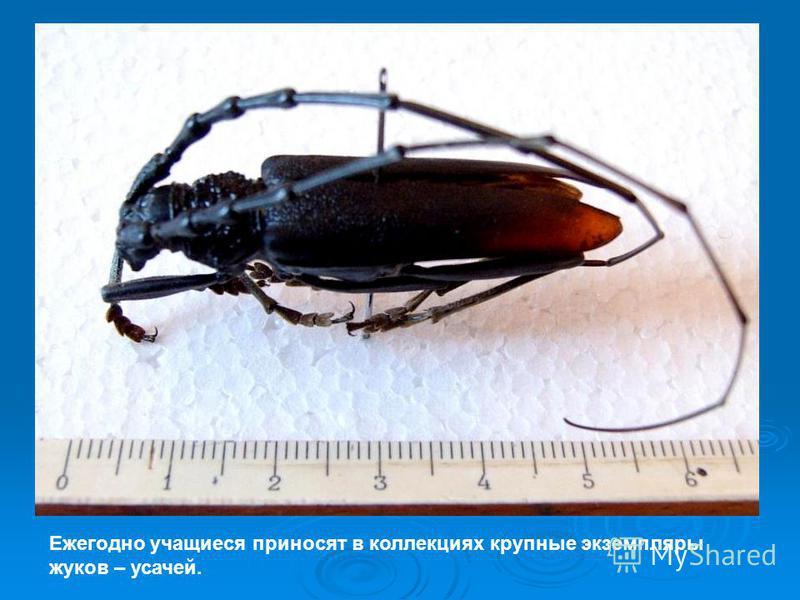 Ежегодно учащиеся приносят в коллекциях крупные экземпляры жуков – усачей.