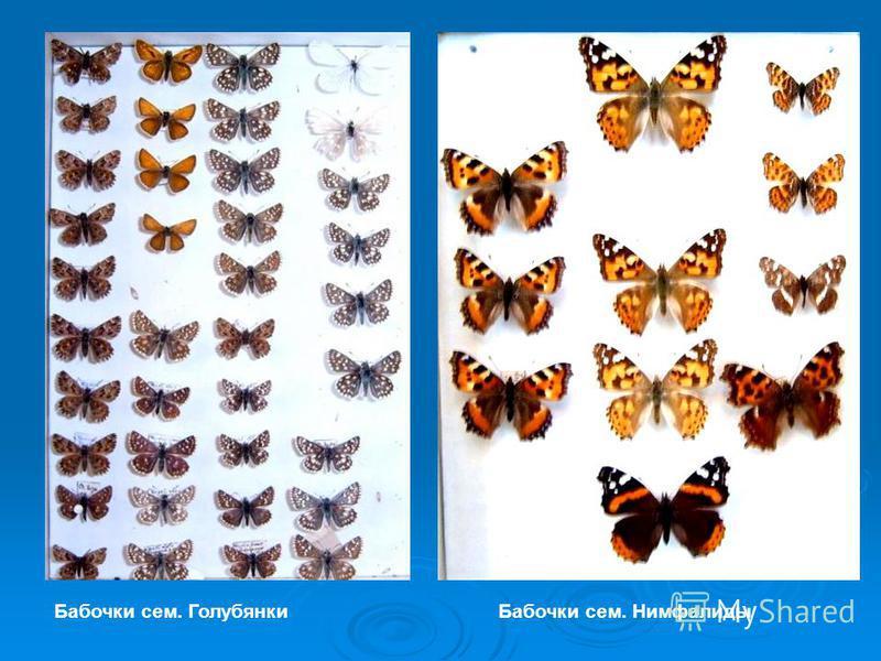 Бабочки сем. Голубянки Бабочки сем. Нимфалиды