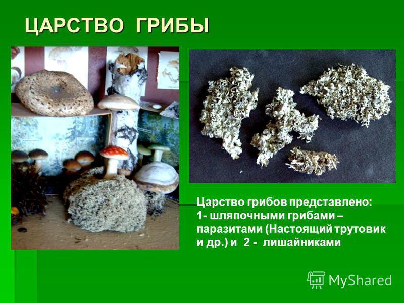 ЦАРСТВО ГРИБЫ Царство грибов представлено: 1- шляпочными грибами – паразитами (Настоящий трутовик и др.) и 2 - лишайниками