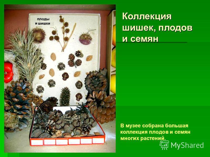 Коллекция шишек, плодов и семян В музее собрана большая коллекция плодов и семян многих растений.