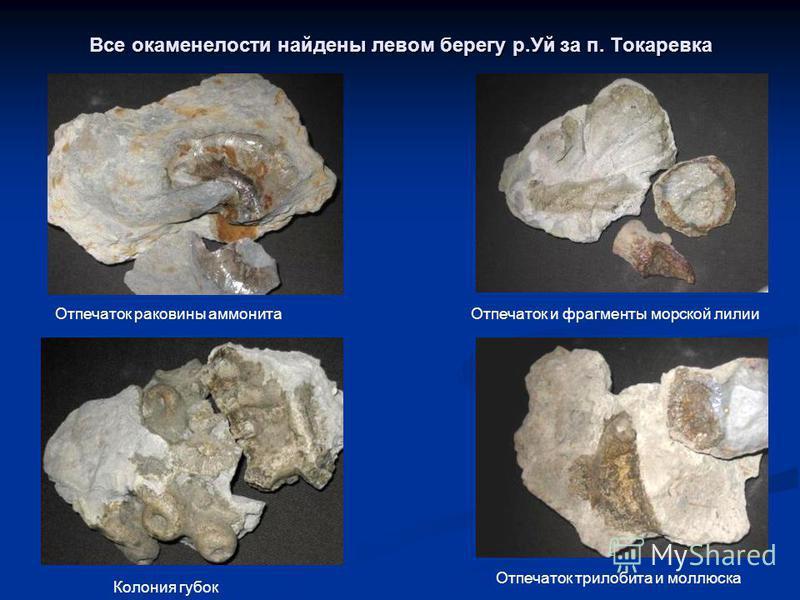 Все окаменелости найдены левом берегу р.Уй за п. Токаревка Отпечаток раковины аммонита Отпечаток и фрагменты морской лилии Колония губок Отпечаток трилобита и моллюска