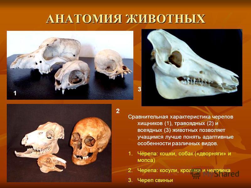 АНАТОМИЯ ЖИВОТНЫХ 1 2 3 Сравнительная характеристика черепов хищников (1), травоядных (2) и всеядных (3) животных позволяет учащимся лучше понять адаптивные особенности различных видов. 1.Черепа: кошки, собак («дворняги» и мопса) 2.Черепа: косули, кр