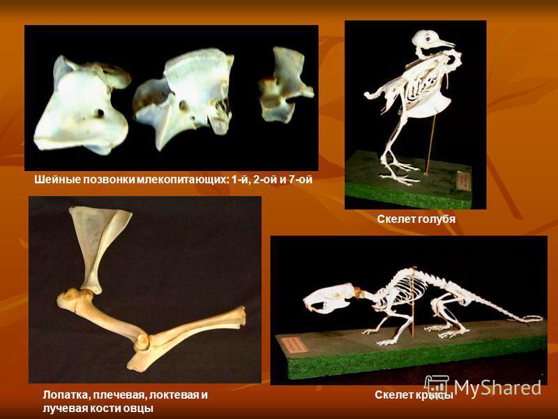 Шейные позвонки млекопитающих: 1-й, 2-ой и 7-ой Скелет голубя Лопатка, плечевая, локтевая и лучевая кости овцы Скелет крысы
