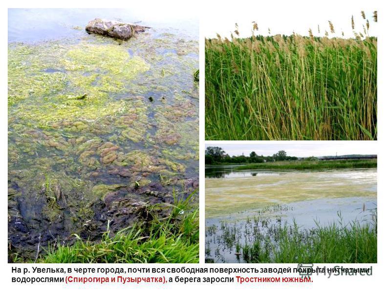 На р. Увелька, в черте города, почти вся свободная поверхность заводей покрыта нитчатыми водорослями (Спирогира и Пузырчатка), а берега заросли Тростником южным.