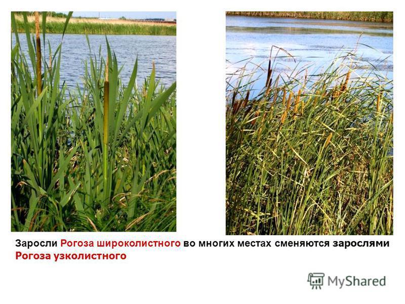 Заросли Рогоза широколистного во многих местах сменяются зарослями Рогоза узколистного