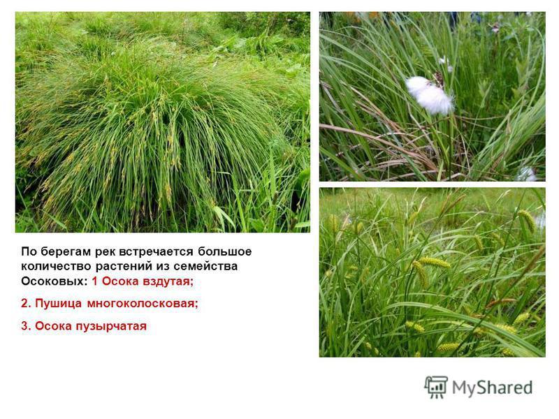 По берегам рек встречается большое количество растений из семейства Осоковых: 1 Осока вздутая; 2. Пушица многоколосковая; 3. Осока пузырчатая