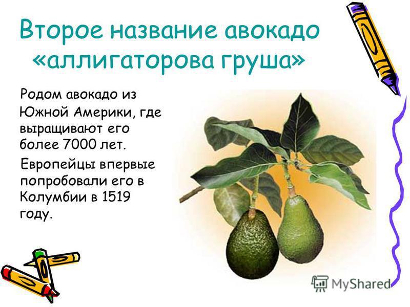 Второе название авокадо «аллигаторова груша» Родом авокадо из Южной Америки, где выращивают его более 7000 лет. Европейцы впервые попробовали его в Колумбии в 1519 году.