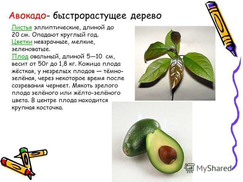 Авокадо- быстрорастущее дерево Листья эллиптические, длиной до 20 см. Опадают круглый год. Цветки невзрачные, мелкие, зеленоватые. Плод овальный, длиной 510 см, весит от 50 г до 1,8 кг. Кожица плода жёсткая, у незрелых плодов тёмно- зелёная, через не