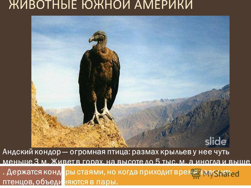 ЖИВОТНЫЕ ЮЖНОЙ АМЕРИКИ Андский кондор огромная птица: размах крыльев у нее чуть меньше 3 м. Живет в горах, на высоте до 5 тыс. м, а иногда и выше. Держатся кондоры стаями, но когда приходит время заводить птенцов, объединяются в пары.