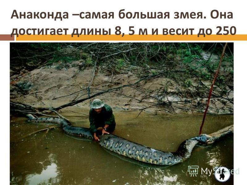 Анаконда – самая большая змея. Она достигает длины 8, 5 м и весит до 250 кг