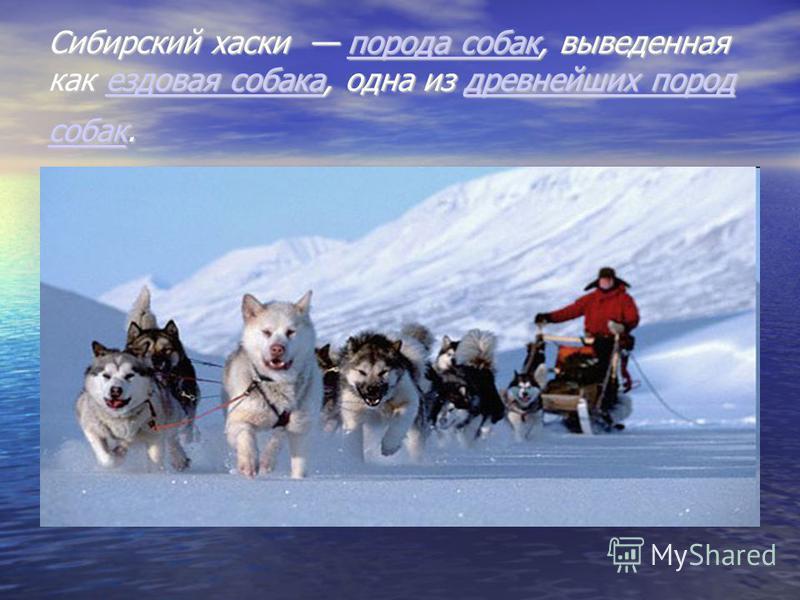 Сибирский хаски порода собак, выведенная как ездовая собака, одна из древнейших пород собак. порода собак ездовая собака древнейших пород собак порода собак ездовая собака древнейших пород собак