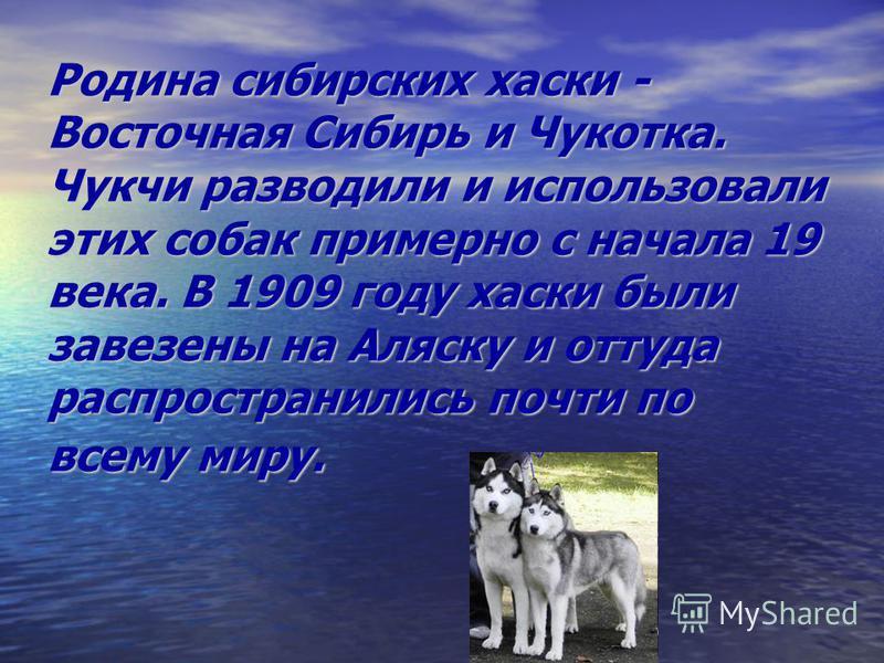 Родина сибирских хаски - Восточная Сибирь и Чукотка. Чукчи разводили и использовали этих собак примерно с начала 19 века. В 1909 году хаски были завезены на Аляску и оттуда распространились почти по всему миру.