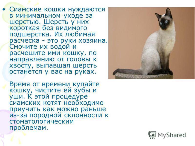 Сиамские кошки нуждаются в минимальном уходе за шерстью. Шерсть у них короткая без видимого подшерстка. Их любимая расческа - это руки хозяина. Смочите их водой и расчешите ими кошку, по направлению от головы к хвосту, выпавшая шерсть останется у вас