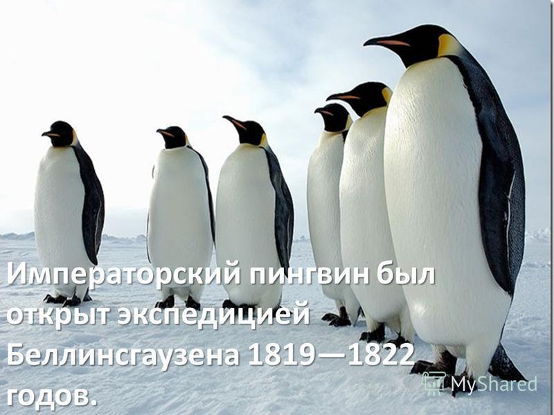 Императорский пингвин был открыт экспедицией Беллинсгаузена 18191822 годов.