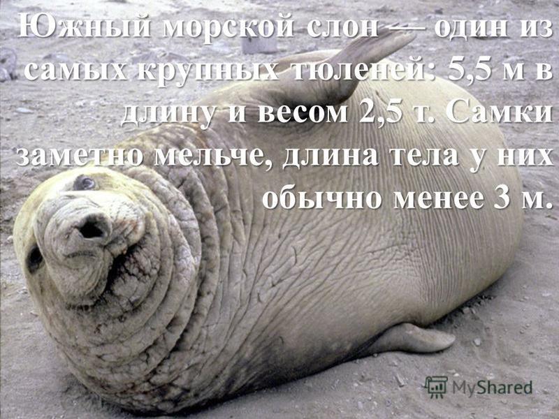 Южный морской слон один из самых крупных тюленей: 5,5 м в длину и весом 2,5 т. Самки заметно мельче, длина тела у них обычно менее 3 м.