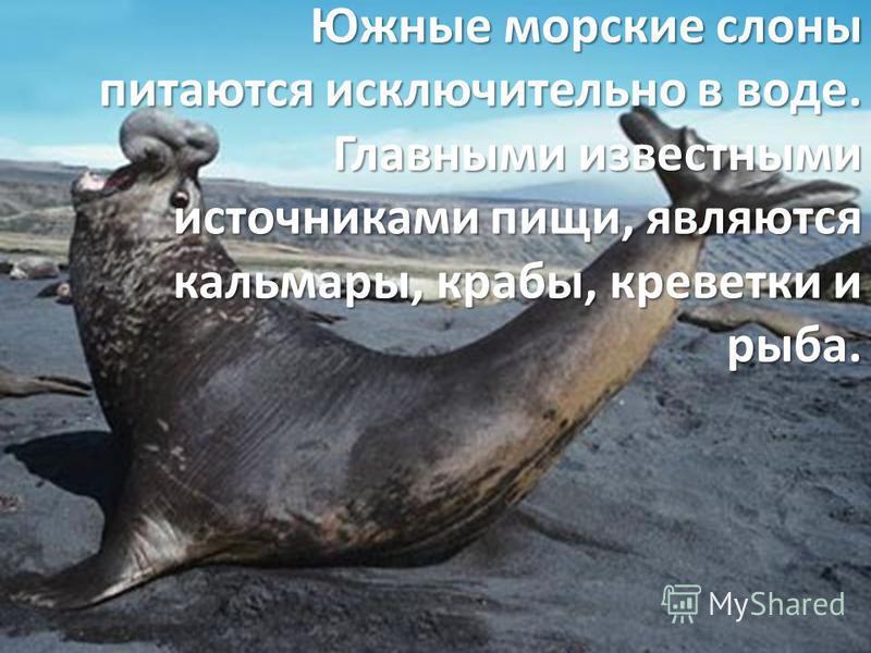 Южные морские слоны питаются исключительно в воде. Главными известными источниками пищи, являются кальмары, крабы, креветки и рыба.