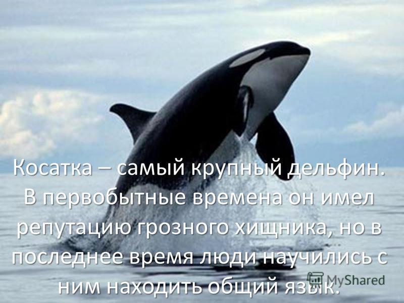 Косатка – самый крупный дельфин. В первобытные времена он имел репутацию грозного хищника, но в последнее время люди научились с ним находить общий язык.