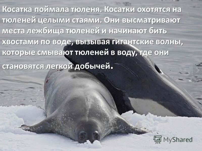 Косатка поймала тюленя. Косатки охотятся на тюленей целыми стаями. Они высматривают места лежбища тюленей и начинают бить хвостами по воде, вызывая гигантские волны, которые смывают тюленей в воду, где они становятся легкой добычей.