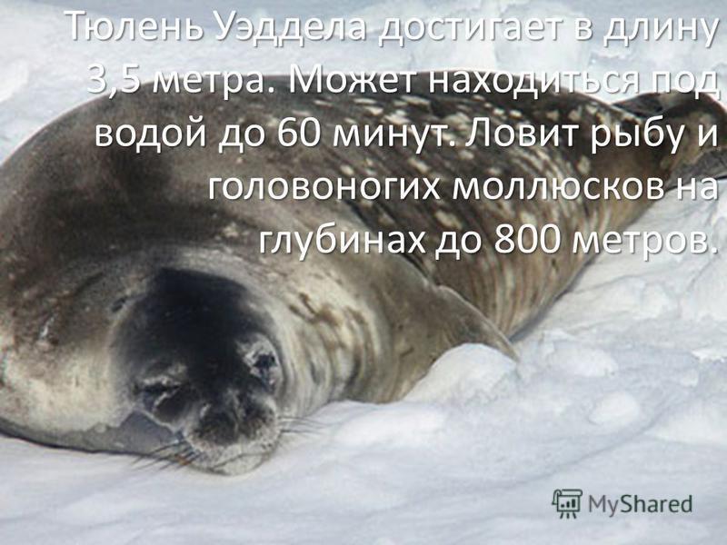 Тюлень Уэддела достигает в длину 3,5 метра. Может находиться под водой до 60 минут. Ловит рыбу и головоногих моллюсков на глубинах до 800 метров.