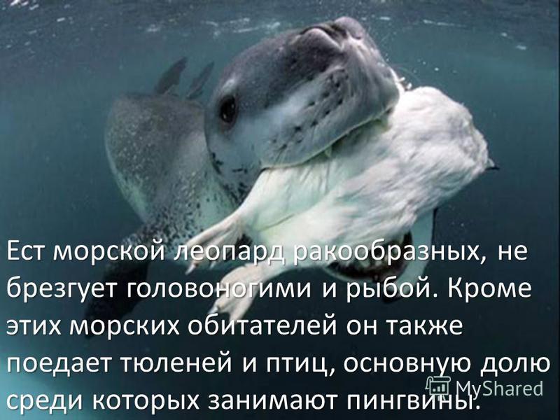 Ест морской леопард ракообразных, не брезгует головоногими и рыбой. Кроме этих морских обитателей он также поедает тюленей и птиц, основную долю среди которых занимают пингвины.