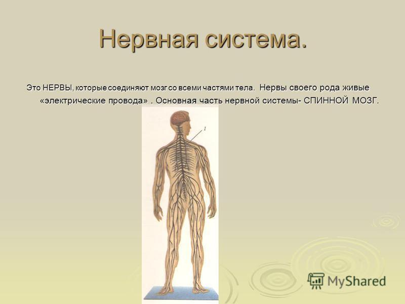 Нервная система. Это НЕРВЫ, которые соединяют мозг со всеми частями тела. Нервы своего рода живые «электрические провода». Основная часть нервной системы- СПИННОЙ МОЗГ. Это НЕРВЫ, которые соединяют мозг со всеми частями тела. Нервы своего рода живые