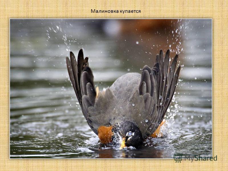 Малиновка купается