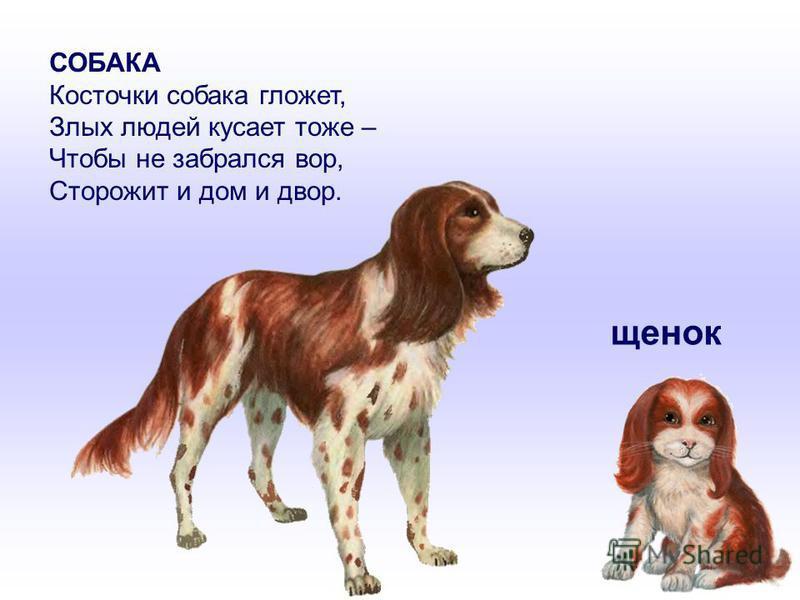 СОБАКА Косточки собака гложет, Злых людей кусает тоже – Чтобы не забрался вор, Сторожит и дом и двор. щенок