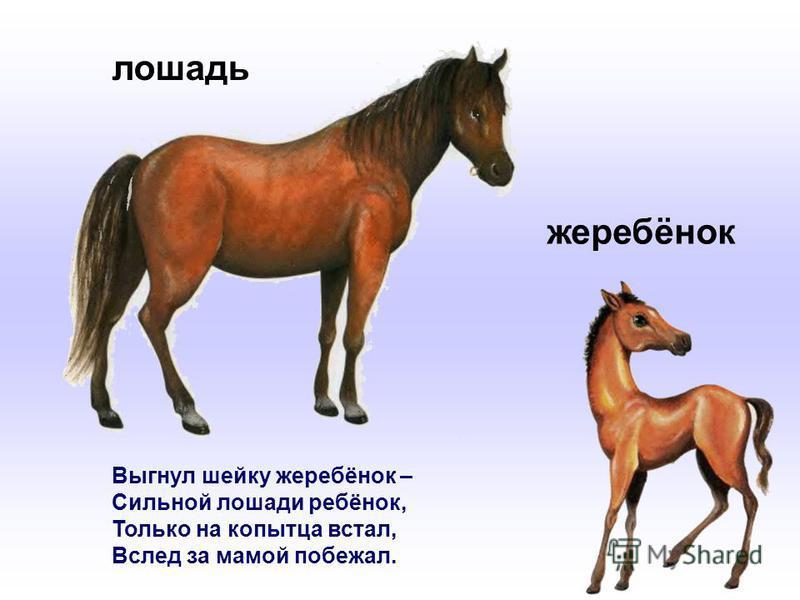 Выгнул шейку жеребёнок – Сильной лошади ребёнок, Только на копытца встал, Вслед за мамой побежал. лошадь жеребёнок